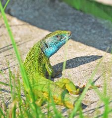 Free Green Lizard With Short Tail Royalty Free Stock Images - 19736289