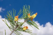 Free Branch Of The Pine Tree Stock Image - 19736481