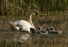 Free Family Of Swans Royalty Free Stock Photo - 19737295