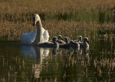 Free Family Of Swans Stock Image - 19737301