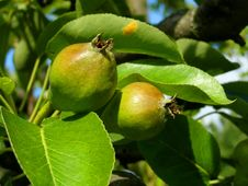 Free Pears In Orchard Stock Photography - 19737442
