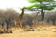Masai Giraffes In The Selous Reserve Stock Photography