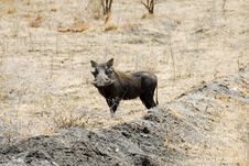 Warthog At Selous National Park Royalty Free Stock Images