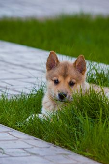 Husky Puppy On Green Grass Stock Photography
