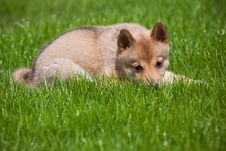 Husky Puppy On Green Grass Stock Photos