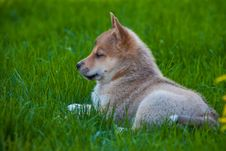 Free Husky Puppy On Green Grass Royalty Free Stock Photography - 19738377