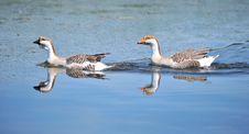 Free Goose Swimming Royalty Free Stock Image - 19739146