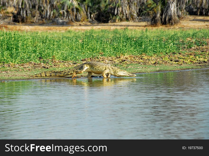 Nile crocodile in the Rufiji River, Selous reserve