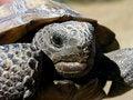 Free Gopher Turtle Royalty Free Stock Photos - 19740448