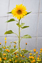 Free Sunflower Grew Among The Flowers Of Marigolds Stock Photos - 19741343