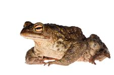 Free Dark Green Isolated Frog Royalty Free Stock Image - 19740446