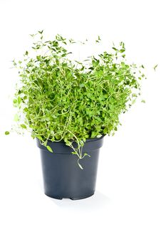 Free Thyme Stock Images - 19740644