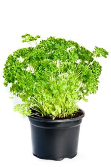 Free Parsley Stock Images - 19740654