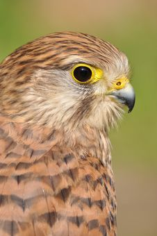 Free Common Kestrel Royalty Free Stock Image - 19741006