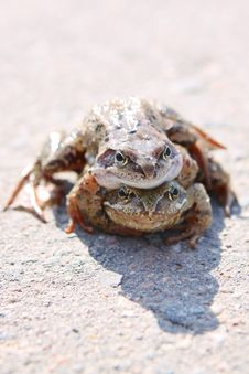 Pair Of Frogs Stock Photos