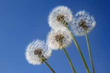 Free Dandelions On The Blue Sky Stock Photos - 19741213