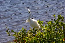 Free Snowy Egret Royalty Free Stock Images - 19748499