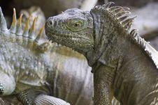 Free Green Iguana Royalty Free Stock Images - 19748609