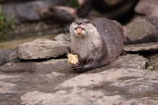 Free Oriental Small-clawed Otter Royalty Free Stock Photo - 19748675