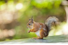 Free Standing Squirrel Royalty Free Stock Image - 19748726
