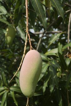 Mango On Tree 2. Royalty Free Stock Photography