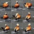 Free Orange Duck On Ice Stock Images - 19756714