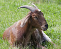 Free Resting Goat Royalty Free Stock Photography - 19757507
