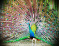 Free Peacock With Feathers Out Stock Image - 19757541