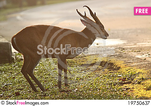 Brown deer Stock Photo