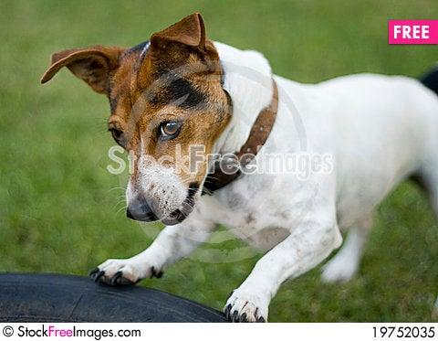 Cute jack russel dog Stock Photo