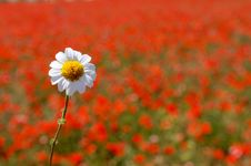 Daisy Over Poppy Field Royalty Free Stock Photography