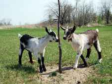Free Two Baby Goats Stock Photos - 19750673