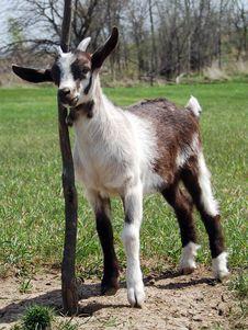 Free Baby Goat Resting Royalty Free Stock Photo - 19750675