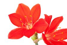 Red Lily In Drops Of Water Stock Photo