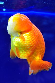 Ranchu Yellow Goldfish Stock Photos
