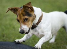 Free Cute Jack Russel Dog Royalty Free Stock Photo - 19752035