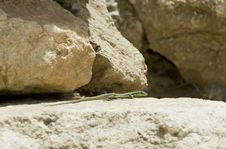 Free Lizard In Israel Stock Photography - 19752332
