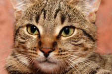 Free Tabby Cat Closeup Stock Photography - 19752572
