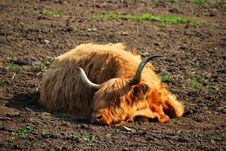 Free High Land Cattle Sleep Royalty Free Stock Images - 19752829