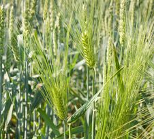 Free Green Wheat Stock Photo - 19753240