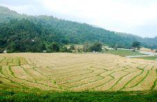 Free Rice Field Stock Photo - 19753970