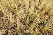 Free Rice Field Royalty Free Stock Photography - 19753987