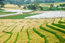 Free Rice Field Royalty Free Stock Image - 19754036