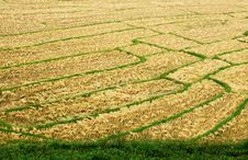 Free Rice Field Royalty Free Stock Photography - 19754037