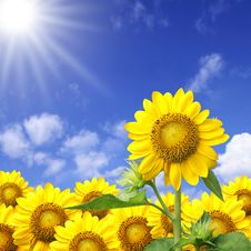 Free Sunflower Stock Photo - 19754960
