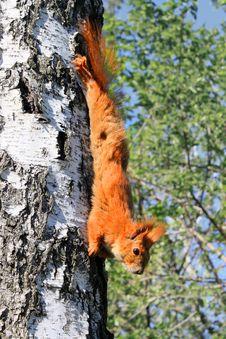 Free Squirrel Stock Images - 19755944