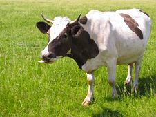 Free The Cow In Pasture Royalty Free Stock Photos - 19756338