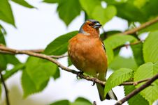 Free Chaffinch Royalty Free Stock Photos - 19756538