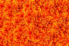 French Marigold Background Royalty Free Stock Photos