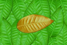 Free Brown Leaf On Green Leaves Royalty Free Stock Photo - 19756955